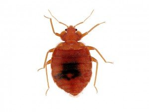 bed bug Arizona