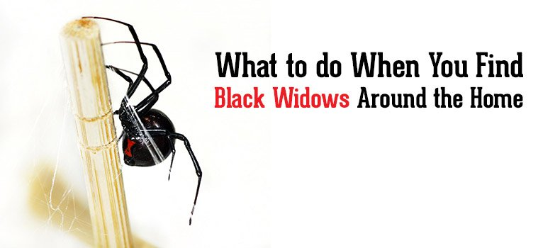 How do I get control of the black widows around my home?